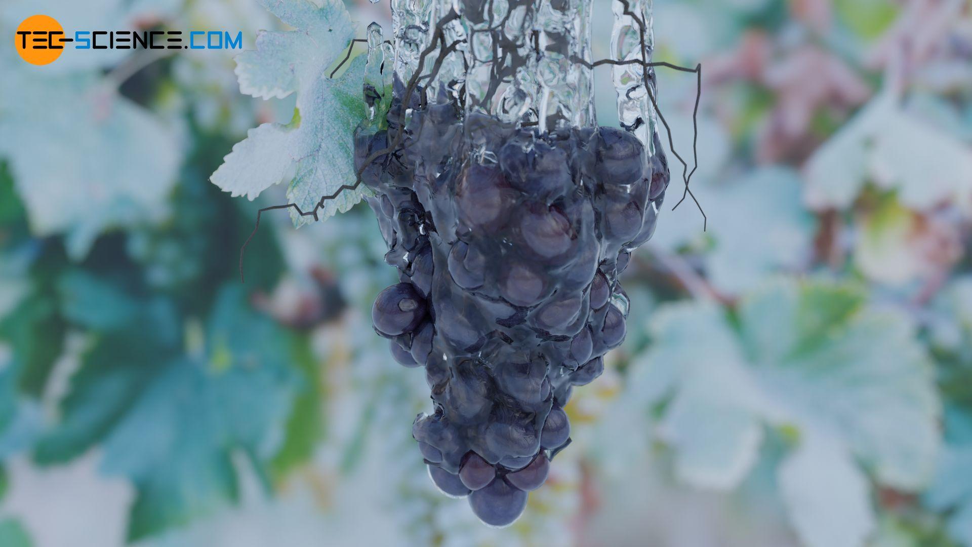 Beregnen einer Weinrebe mit Wasser als Frostschutz (Frostschutzberegnung)